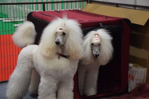 Glamorous Standard Poodle