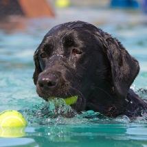 dogfest 2014 - dockdog - black lab